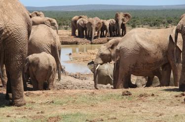 Elefanterne i Sydafrika