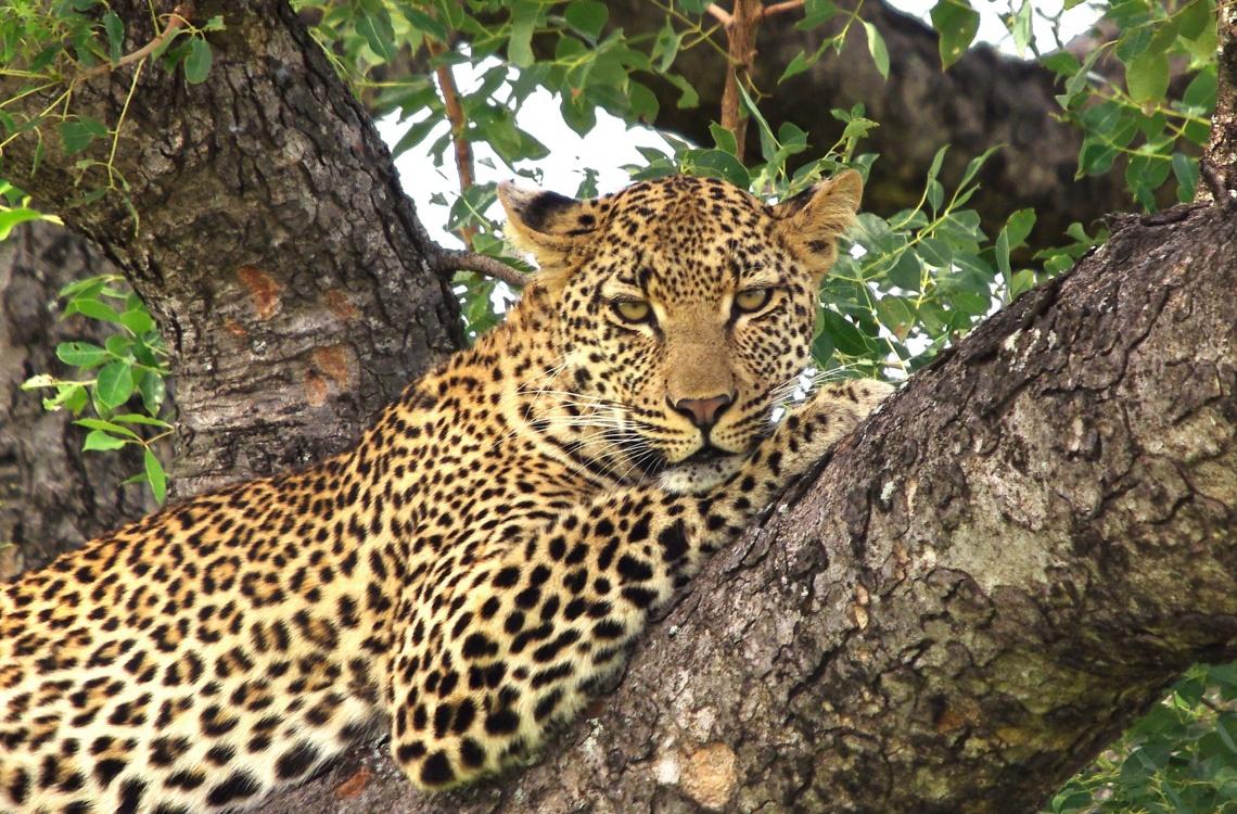 Den flotte leopard