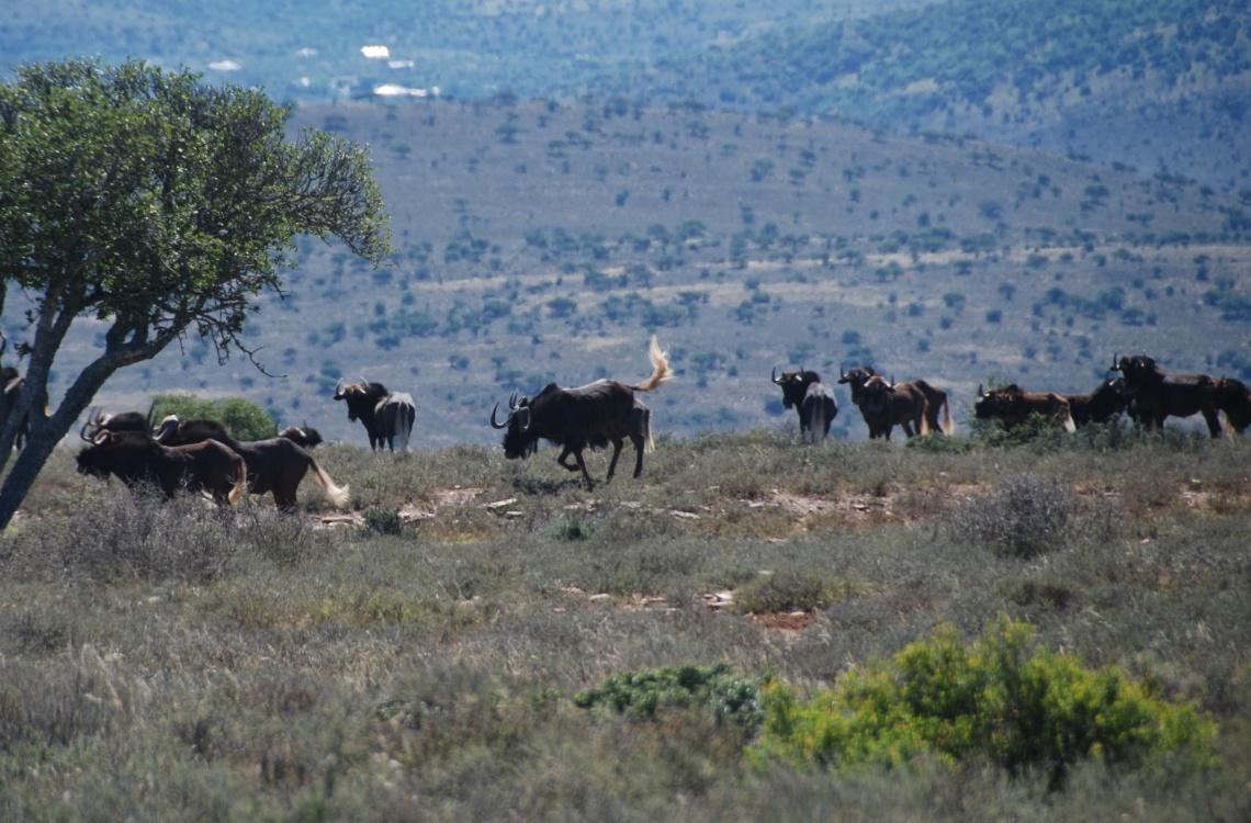 Flok af wildebeest