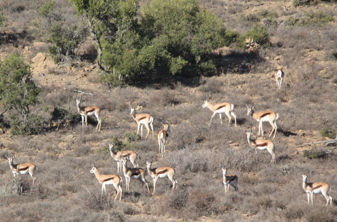 stor impala flok